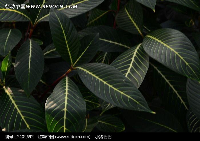 光泽润滑的叶子图片_动物植物图片