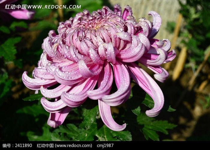 水灵灵的粉色菊花图片