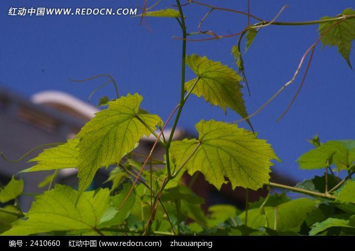葡萄的藤蔓图片_动物植物图片