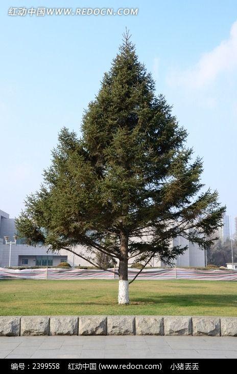 蓝天下茂盛的松树图片