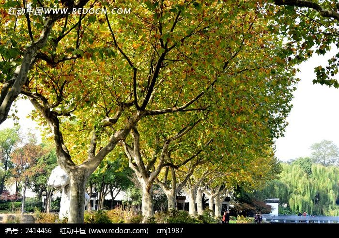 绚丽的法国梧桐图片,高清大图_树木枝叶素材