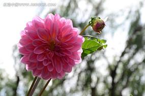 粉色盛开的大丽花