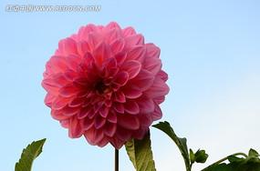 秀丽淡雅的大丽花