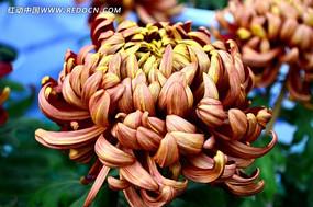 朱红色菊花