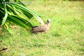 草地中的鸽子特写