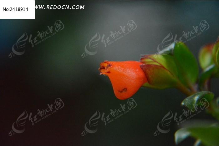 金鱼吊兰图片_动物植物图片