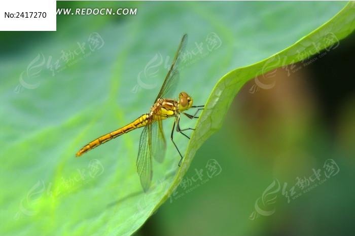 荷叶上的蜻蜓图片,高清大图_空中动物素材