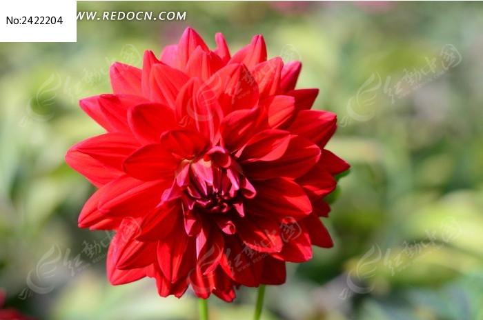 红色大丽菊图片