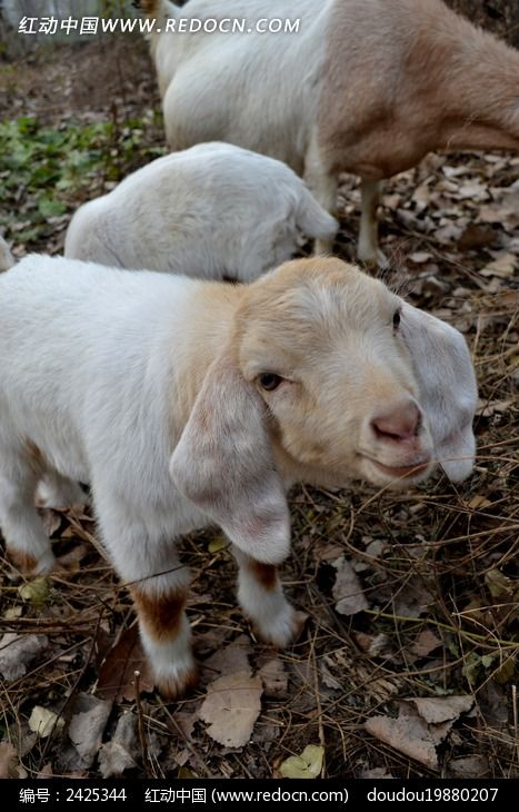 卖萌咀嚼的小羊_陆地动物图片