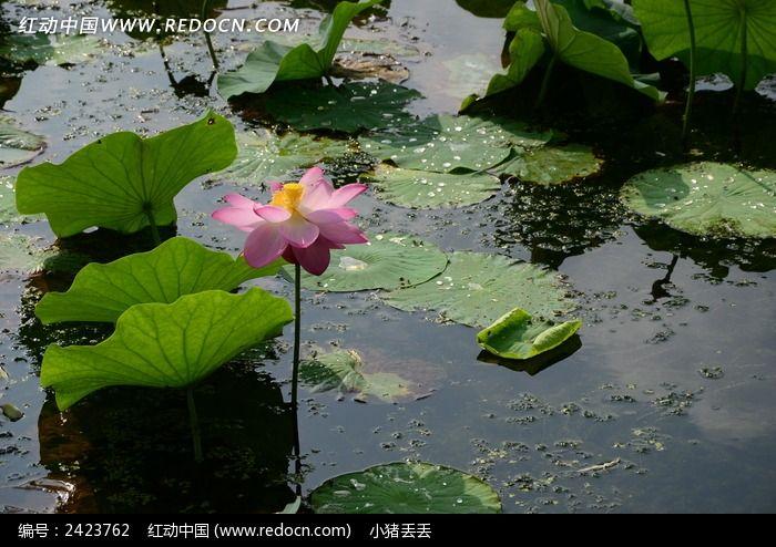 原创摄影图 动物植物 花卉花草 池塘里的粉色荷花