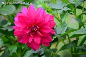 绚丽的粉色大丽花