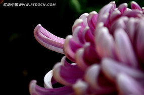 美丽的粉色菊花花瓣
