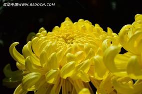 灿烂的黄色菊花