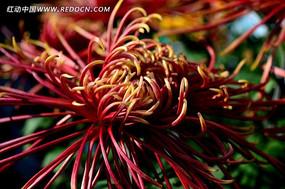 漂亮的朱红色菊花