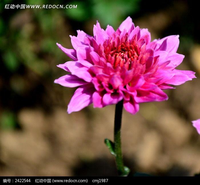 美丽的粉色菊花图片
