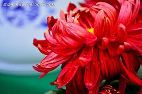 水灵的红色菊花