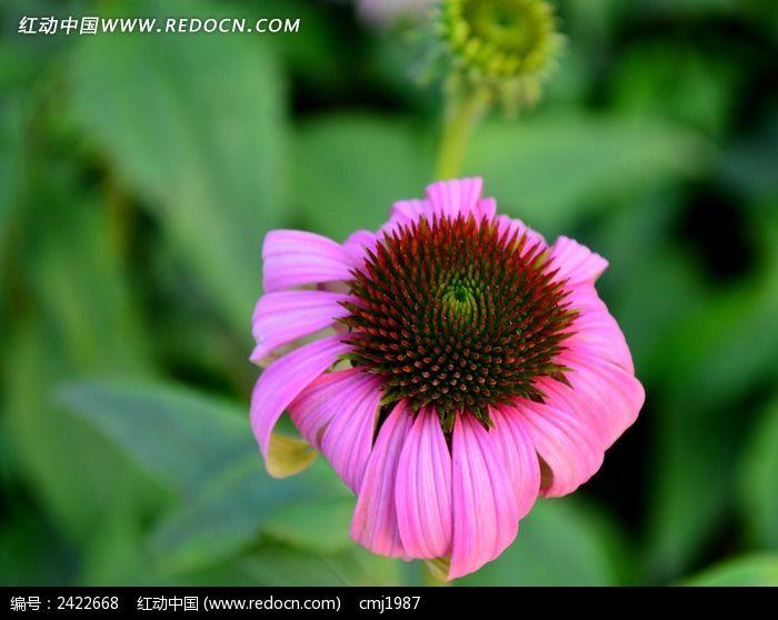 美丽的粉色松果菊图片_动物植物图片