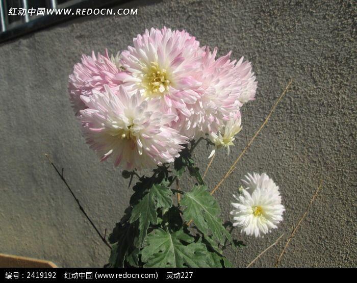 粉白雏菊图片