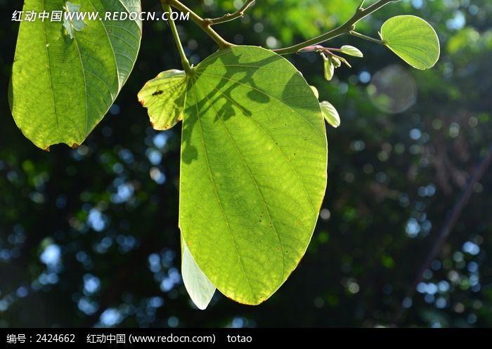 紫荆树叶子图片_动物植物图片