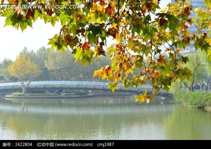 漂亮的梧桐叶图片,高清大图_树木枝叶素材