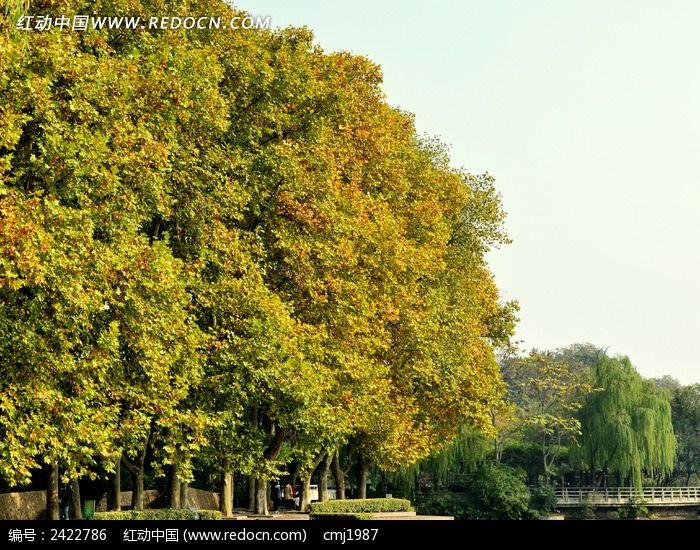 茂盛的法国梧桐图片,高清大图_树木枝叶素材