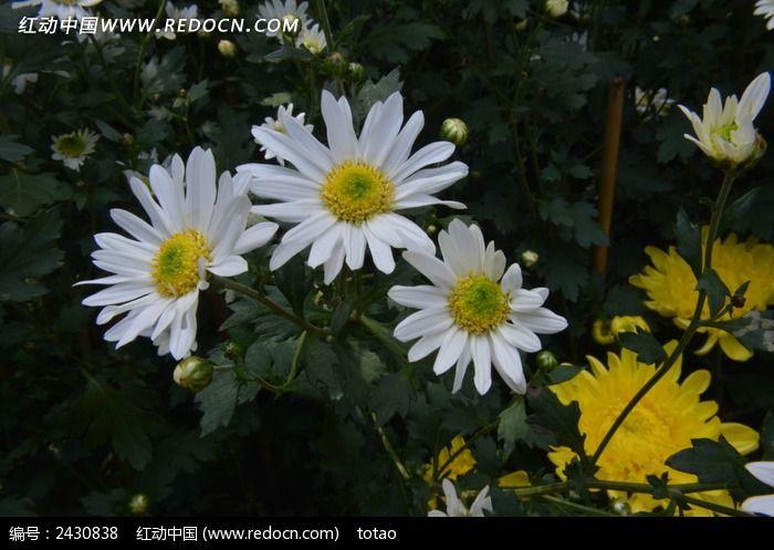 精致的大滨菊