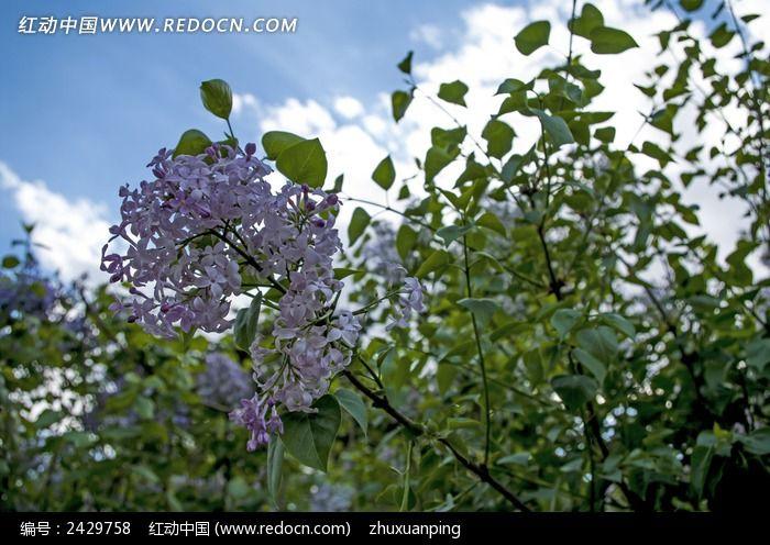 花蕊 紫丁香