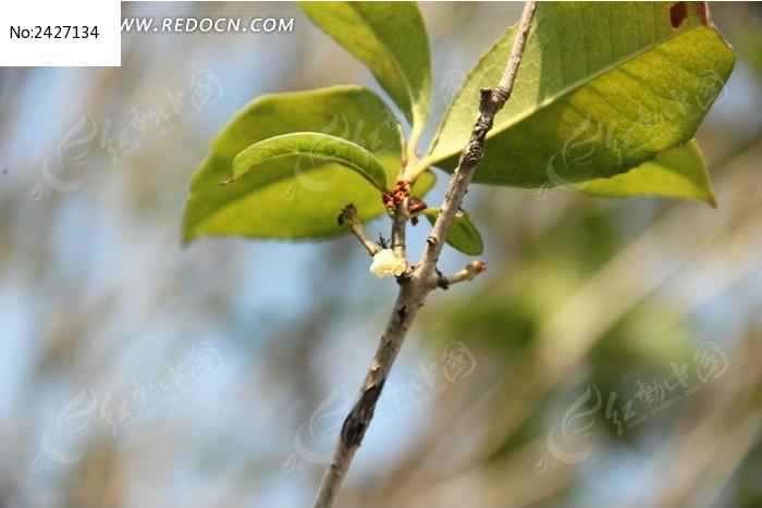 原创摄影图 动物植物 花卉花草 桂花树树枝和桂花  请您分享: 红动网