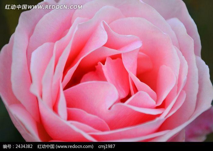 粉色月季花特写图片_动物植物图片