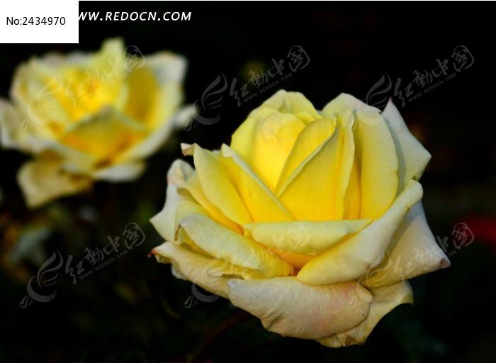 白黄渐变月月红图片_动物植物图片