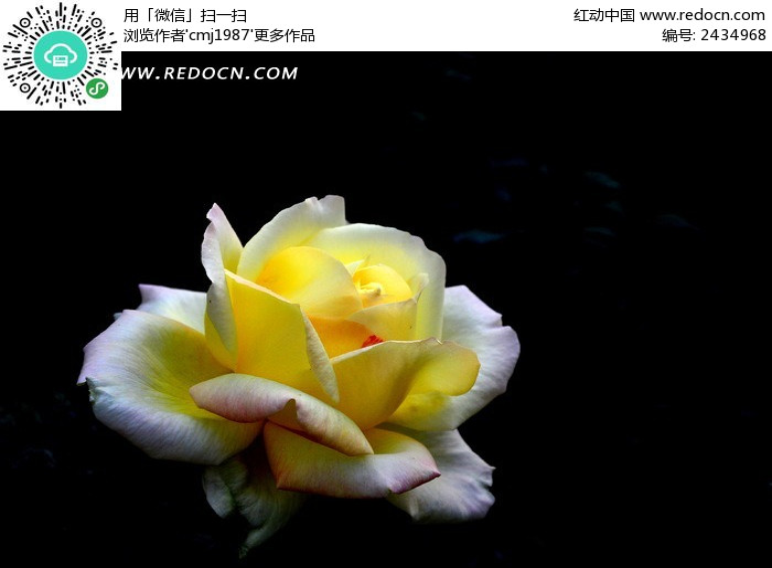 原创摄影图 动物植物 花卉花草 白黄渐变月季花