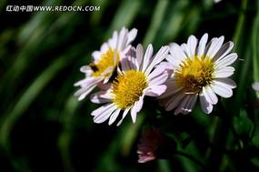 三个美丽的菊花