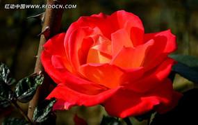 亮丽的橘红色月月红