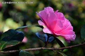 树枝上的粉色茶梅