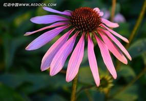 美丽灿烂的松果菊