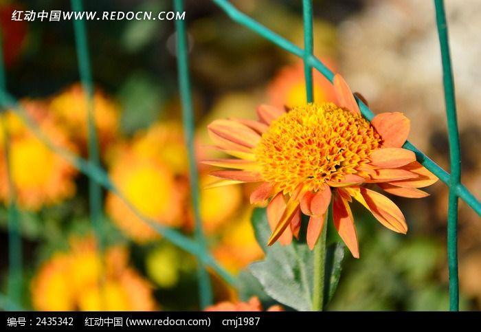 绿色铁丝网边的菊花图片