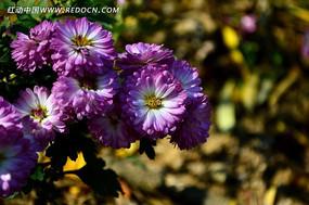 一簇美丽的菊花