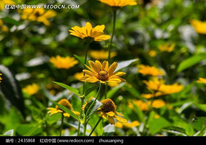 一丛金鸡菊图片_动物植物图片