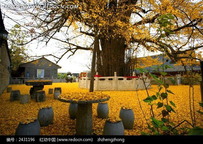 落满银杏叶的千年银杏树图片