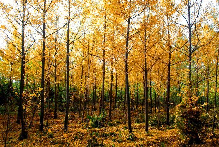 秋天金色银杏树林图片素材下载 2431232