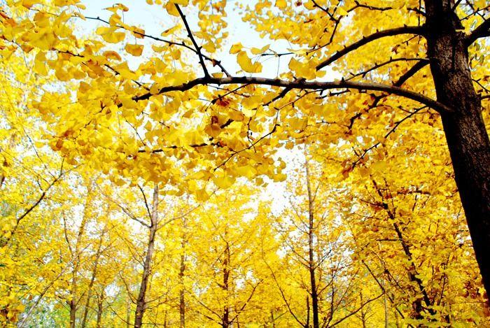 秋天金色银杏树林图片素材下载 2431236