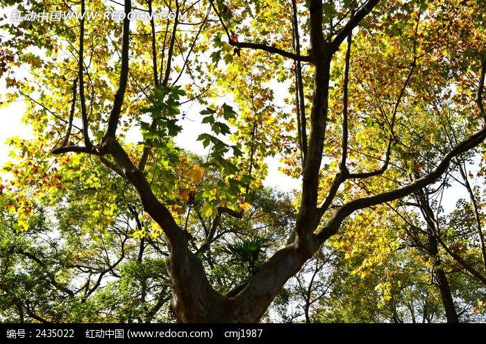 漂亮的梧桐树图片,高清大图_树木枝叶素材