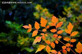 虚化背景里的红叶