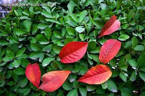 绿叶背景里的红叶