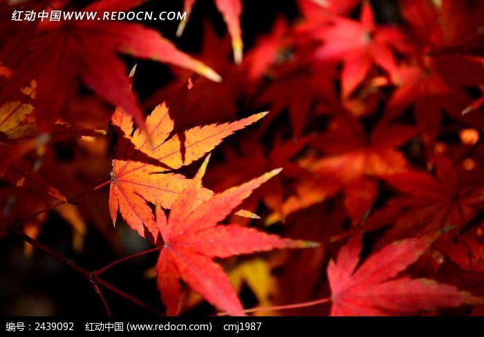 阳光下的红色枫叶图片