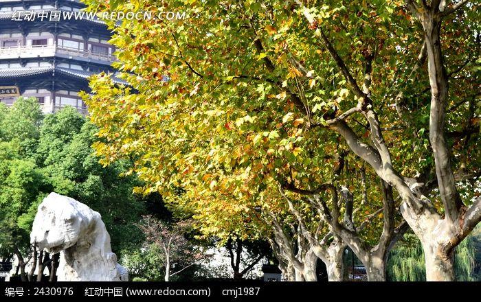 美丽的梧桐树木图片素材下载(编号:2430976)
