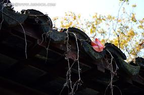 屋檐上的红叶