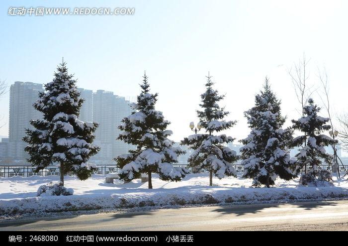 白雪覆盖的松树高清图片下载 编号2468080 红动网
