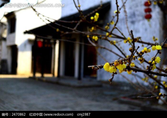 惠山古镇的梅花图片