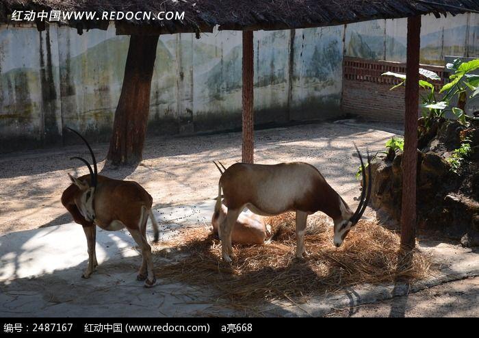 弯角大羚羊图片_动物植物图片